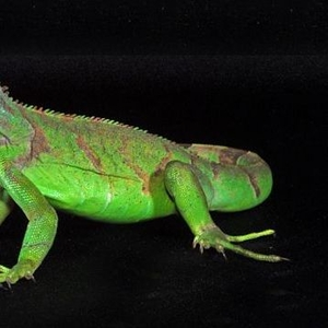 Игуана зеленая