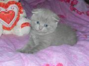 Продаются британские котята  голубого и лилового окраса
